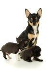 Uma mãe e seus cachorrinhos da chihuahua Fotos de Stock Royalty Free