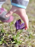 Uma mão do ` s da criança que alcança a uma flor roxa do açafrão na primavera Fotos de Stock