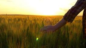 Uma mão do ` s da jovem mulher toca no trigo contra o por do sol do por do sol O movimento do ` s da menina cede as orelhas do tr video estoque