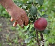 Uma mão do ` s do homem que toca nas folhas de uma plântula da árvore de maçã fotografia de stock