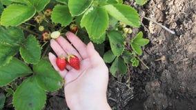 Uma mão fêmea está rasgando morangos Mostre morangos maduras na palma de sua mão Macro do arbusto de morango O solo video estoque