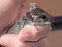 Uma mão humana que guarda um rato de campo cinzento pequeno, maniculatus de Peromuscus Fotos de Stock
