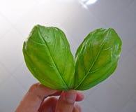 Uma mão que guarda duas folhas verdes frescas da manjericão Imagens de Stock