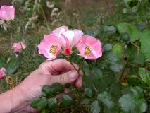 Uma mão que guarda Rose Blossoms cor-de-rosa Fotografia de Stock Royalty Free
