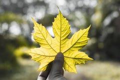 Uma mão que guarda um amarelo da folha Imagens de Stock Royalty Free
