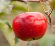 Uma maçã vermelha em uma filial Fotografia de Stock