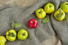 Uma maçã vermelha entre o marmelo no fundo Fotografia de Stock