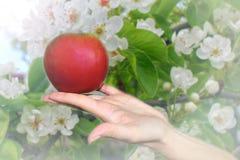 Uma maçã vermelha madura fresca na palma de sua mão, uma coleção no jardim do verão fotos de stock royalty free