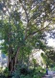 Uma magnólia enorme no Repos de segunda-feira do parque na ilha de Corfu, Grécia fotografia de stock
