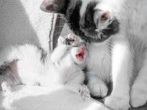 Uma mamã pequena bonito do gatinho e do gato está jogando em um tapete branco no sol Fotografia de Stock Royalty Free