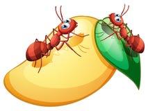 Uma manga madura doce com duas formigas Imagens de Stock
