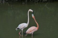 Uma manhã para Flamingous romântico foto de stock