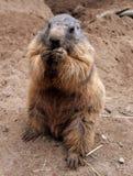 Uma marmota Fotos de Stock
