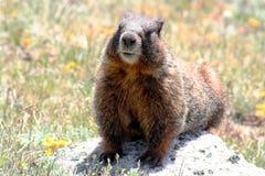 Uma marmota Imagens de Stock Royalty Free