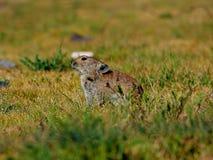 Uma marmota em um furo que olha curiosamente fotografia de stock royalty free