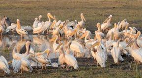 Uma massa de grandes pelicanos brancos Imagens de Stock Royalty Free