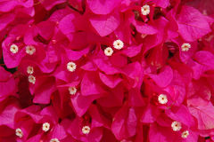 Uma massa do bougainvillea no vermelho do carmim Foto de Stock Royalty Free