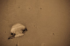 Uma medusa lavada acima na praia Fotografia de Stock Royalty Free