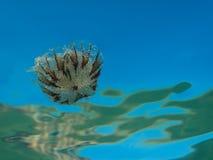 Uma medusa pequena da família do hysoscella do Chrysaora das medusa do compasso no mar Mediterrâneo foto de stock