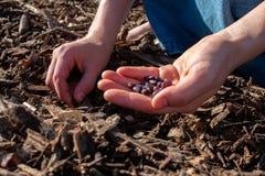 Uma menina em uma saia que planta feijões foto de stock