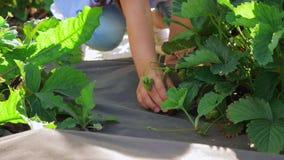 Uma menina escolhe morangos de uma cama do jardim video estoque