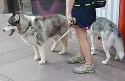 Uma menina está andando em um cão de puxar trenós da trela dois Fotografia de Stock Royalty Free