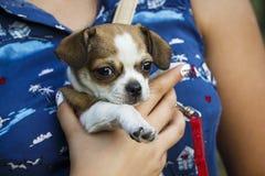 Uma menina está guardando um cão pequeno Fotos de Stock Royalty Free