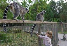 Uma menina no jardim zoológico quer tocar na cauda de um lêmure imagens de stock