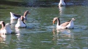 Uma metragem dos gansos que nadam em uma lagoa de água em um jardim botânico, Sydney, Austrália filme