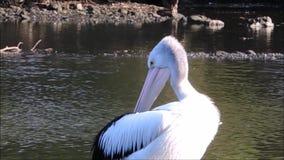 Uma metragem mostra como pelicano branco australiano que limpa e que risca-se, no rio do cozinheiro, Sydney, Austrália video estoque