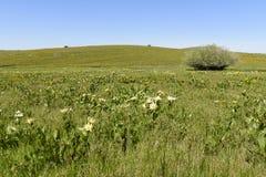 Uma mistura de orelhas amarelas e híbridas das mulas que colorem os montanheses de Idaho do sudoeste e de Oregon do sudeste foto de stock
