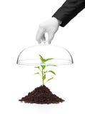 Uma mão que prende uma tampa sobre uma planta da pimenta no solo Imagens de Stock Royalty Free