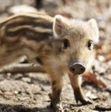 Uma molva selvagem pequena bonito do porco com as listras na natureza Fotos de Stock Royalty Free