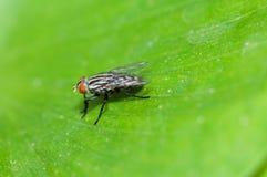 Uma mosca da casa Foto de Stock Royalty Free