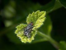 Uma mosca de carne com os olhos vermelhos que sentam-se em uma folha verde pequena Imagem de Stock Royalty Free