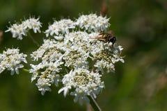 Uma mosca em um laço do ` s da rainha Anne Imagem de Stock