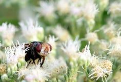 Uma mosca feia grande em algumas flores brancas bonitas imagens de stock royalty free