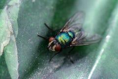 Uma mosca macro do verde da foto imagem de stock royalty free