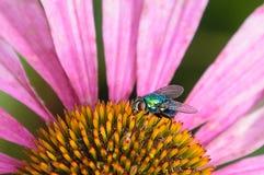 Uma mosca verde da garrafa alimenta em um coneflower Fotos de Stock
