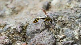 Uma mosca vespa-simulada perfeita do surphid que descansa na pedra filme
