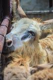 Uma mula no estábulo A mula é a prole de um asno do homem (ja Imagens de Stock Royalty Free