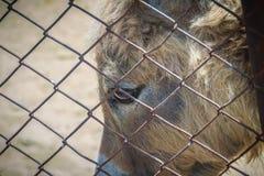 Uma mula no estábulo A mula é a prole de um asno do homem (ja Fotos de Stock
