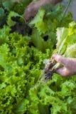 Uma mulher adulta que recolhe a alface no jardim Imagens de Stock