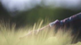Uma mulher condu-la ceder as orelhas do trigo, close-up, borrão video estoque