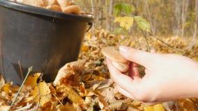 Uma mulher corta com os cogumelos de uma faca na floresta do outono e põe a cubeta Mulher que procura cogumelos em outonal vídeos de arquivo