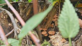 Uma mulher corta com os cogumelos de uma faca na floresta do outono e põe a cubeta Mulher que procura cogumelos em outonal filme