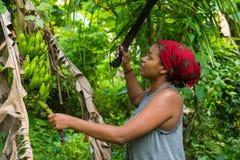 Uma mulher das caraíbas de trabalho dura que colhe bananas verdes com um machete fotografia de stock