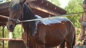 Uma mulher douses um cavalo em uma pena video estoque