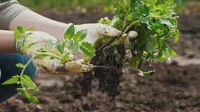 Uma mulher escolhe plântulas do tomate para plantar na terra video estoque