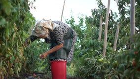 Uma mulher grisalho idosa em um lenço recolhe tomates em uma grande cubeta plástica Colheita no vegetal video estoque